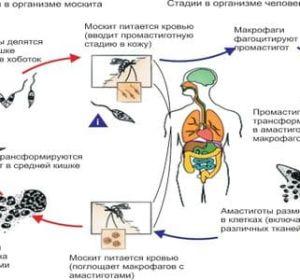 Лейшмания — жизненный цикл возбудителя лейшманиоза у человека, признаки и схема терапии