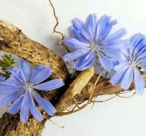Цикорий – польза и вред, действие на организм и состав растения