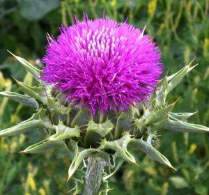 Расторопша – лечебные свойства и правила применения, противопоказания