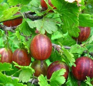 Крыжовник — кладезь витаминов или бесполезная ягода?