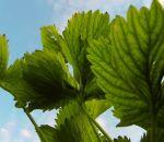 Листья брусники – лечебные свойства и противопоказания, применение