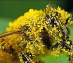Полезные свойства пчелиной пыльцы равным образом сведения ко применению