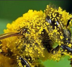 Полезные свойства пчелиной пыльцы и показания к применению