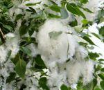 Как бороться с аллергией на тополиный пух?