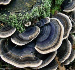Дальневосточные грибы помогут в лечении рака