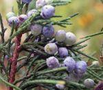 Черника — полезные свойства и противопоказания, показания и народные рецепты с ягодами или листьями