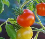 Курильщикам посоветовали есть больше помидоров