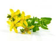 Тысячелистник – полезные свойства и противопоказания, лечебные рецепты
