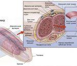 Массаж при болезни Пейрони — симптомы и причины заболевания, методы терапии