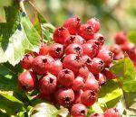 Боярышник — полезные свойства и противопоказания настойки, чая, или отвара из свежих или сушеных плодов