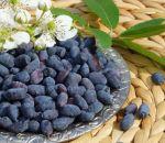 Жимолость — полезные свойства и противопоказания, вкус ягод и состав, применение в народной медицине