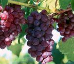 Может ли навредить виноград?