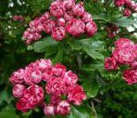 Травы понижающие давление — рецепты настоев, отваров и чаёв