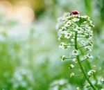 Пастушья сумка – лечебные свойства и противопоказания растения