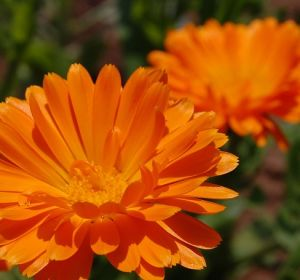 Календула: лечебные свойства и противопоказания, применение растения в домашних условиях