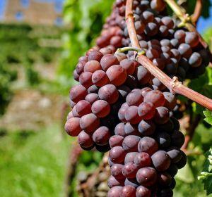 Виноград назвали полезным при депрессии