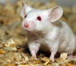 Напечатанные на 3D-принтере яичники позволили мышам произвести потомство