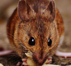 В жире мышей нашли белок, не дающий похудеть при стрессе