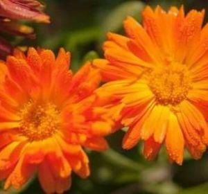 Мазь календулы: от чего помогает гомеопатическое средство