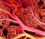 Чистые сосуды – залог нашего здоровья: как избавить их от холестерина