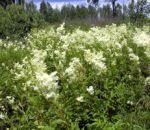 Таволга — лечебные свойства растения и показания к использованию