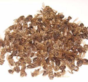 Польза, противопоказания и применение пчелиного подмора