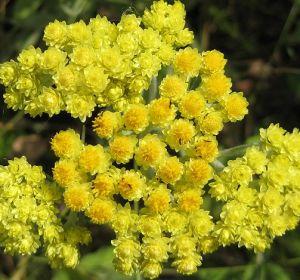 Полезный бессмертник для здорового организма: особые свойства травы