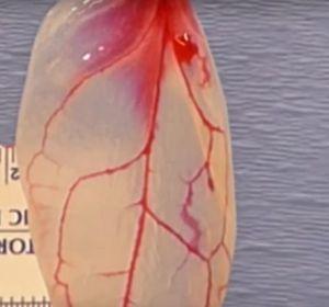 Лист шпината свживленной человеческой тканью показали навидео