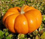 Натуральная и полезная тыква – оберег от всех заболеваний