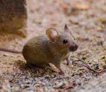 Первые признаки мышиной лихорадки — проявления заболевания и терапия