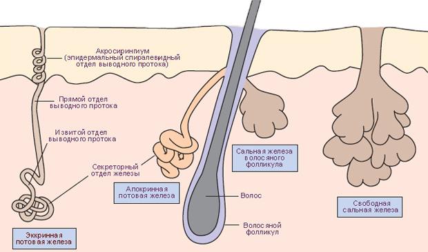 Образующие пот железы