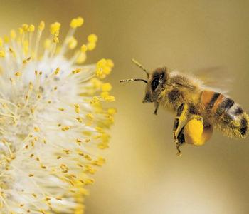 Пчела собирает пыльцу