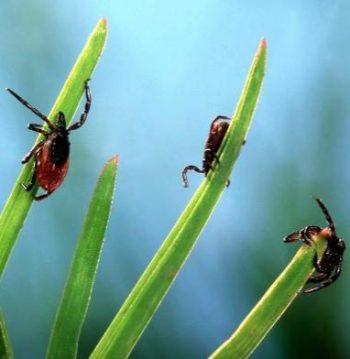 Три клеща на травинках