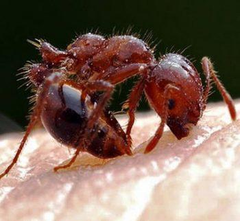Укус красного муравья