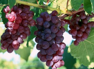 Виноград растет на ветке