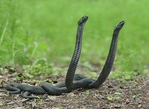 Две змеи на земле