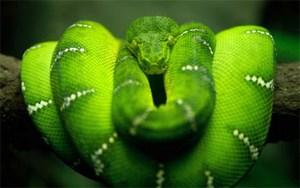 Змея висит на ветке