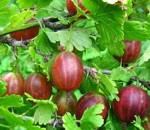 Красные ягоды крыжовника растут на ветке