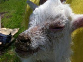 Больная оспой овца