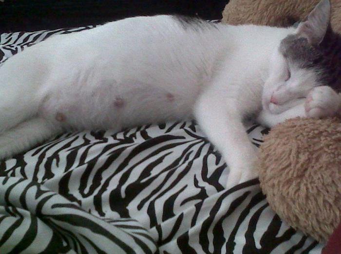 ложная беременность у кошки лечение