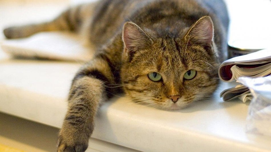 Мочекаменная болезнь у кошек фото