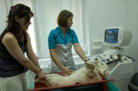 Ультразвуковое иследование собаки