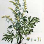 Фото 4: Растение полынь