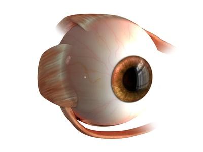 Auge mit den Muskeln