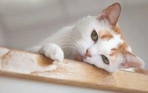 Копростаз у кошек