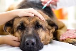 Больная панкреатитом собака