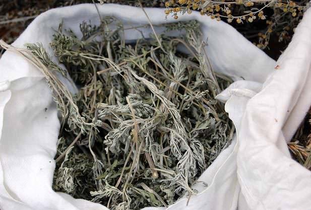 Полынь обыкновенная: лечебные свойства и особенности применения травы
