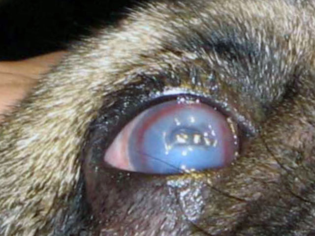 Язвенный дефект глаза у собаки