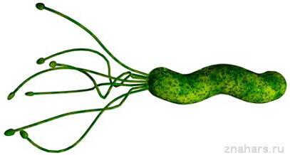 Бактерия Helicobacter pylori является причиной язвы желудка