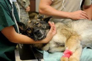 лечение заворота кишок у собаки